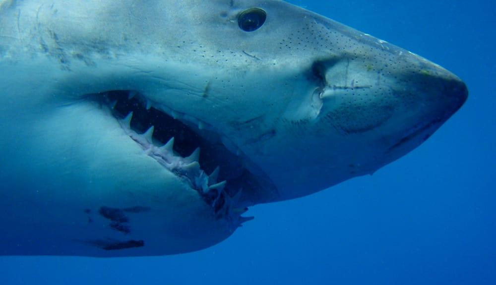 National Geographic WILD'da Köpekbalığı Festivali